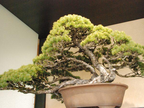 大宮盆栽美術館 松盆栽を見上げる