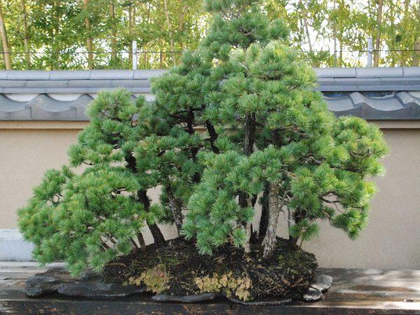 松の寄せ植え盆栽